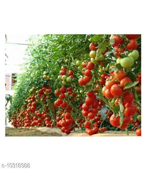 Hybrid Indian Climbing Tomato 100 Seeds Pack