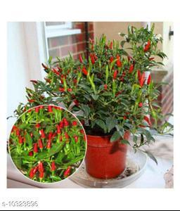 Dwarf Thai Sun Hot Pepper Capsicum Annuum Ornamental Chili 20 Seeds