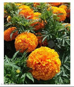ORANGE AFRICAN MARIGOLD CRACKER JACK Winter Flower Seeds with Coco Peat Seed Starter
