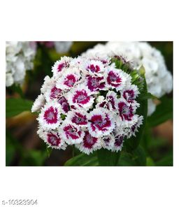 Sweet William Tall Single Mix Winter Flower Seeds with Coco Peat Seed Starter