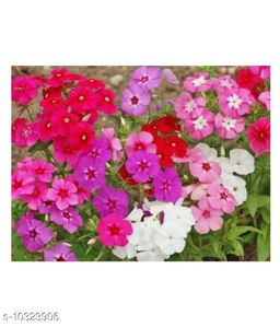Phlox Mixed Colors  Winter Flower Seeds with Coco Peat Seed Starter