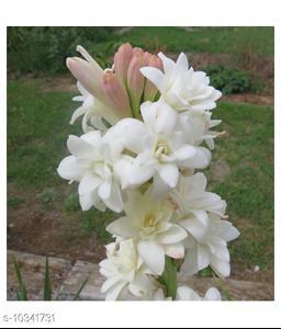 Tuberose tropical ornamental bulbous flowering plants seeds 10 Pieces