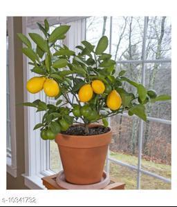 Indoor Dwarf Meyer Lemon Citrus limon Fruit Seed for Growing 10 Seeds/Bag