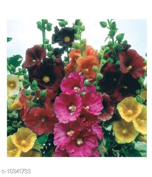 Scarlet O'Hara Hollyhock Flower Seeds with Coco Peat Seed Starter