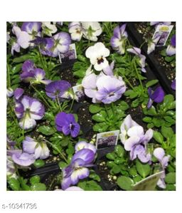 Sorbet Viola pansy Mix Winter Flower Seeds Pack with Coco Peat Seed Starter