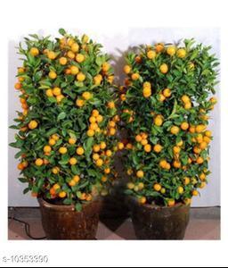 VSR Gardens Indoor Dwarf 10 pcs Edible Fruit Mandarin Citrus Orange fruit Tree Seeds