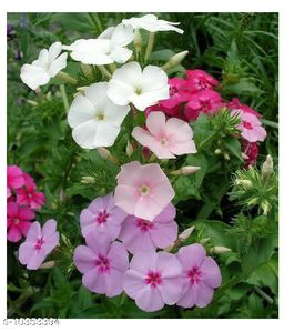 DRUMMOND PHLOX MIX Pink, Red, & White Winter Flower Seeds with Coco Peat Seed Starter