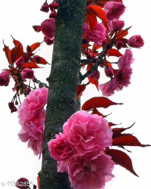 FLARE SEEDS Carnation Rose Flower Seeds