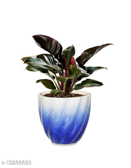 Greenium Foliage Plant Philodendron Imperial Red in Mix Blue Twisted Grace Pot