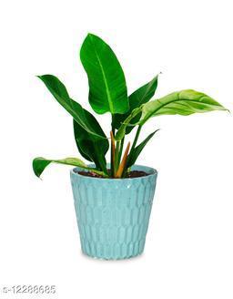 Greenium Foliage Plant Philodendron Xanadu Martiana in Green Edgy Origami Pot