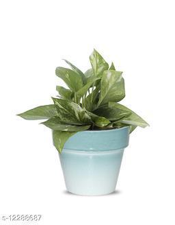 Greenium Foliage Green Money Plant In Green Pastel Elegance Pot