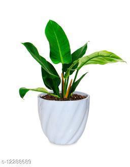 Greenium Foliage Plant Philodendron Xanadu Martiana in Light Blue Twisted Grace Pot