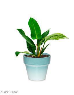 Greenium Foliage Plant Philodendron Xanadu Martiana in Green Pastel Elegance Pot