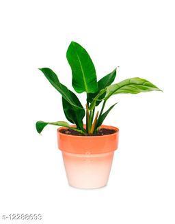 Greenium Foliage Plant Philodendron Xanadu Martiana in Orange Pastel Elegance Pot