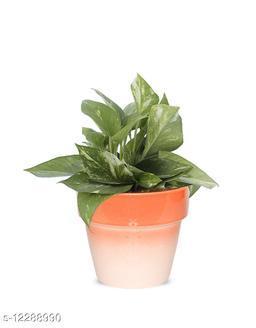 Greenium Foliage Green Money Plant In Orange Pastel Elegance Pot