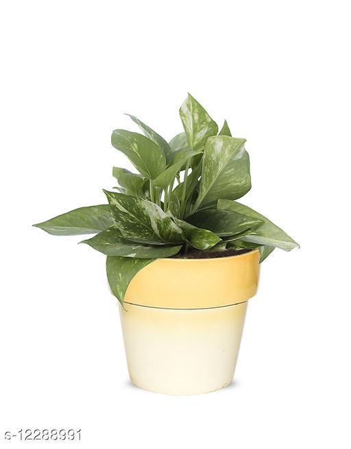 Greenium Foliage Green Money Plant In Yellow Pastel Elegance Pot