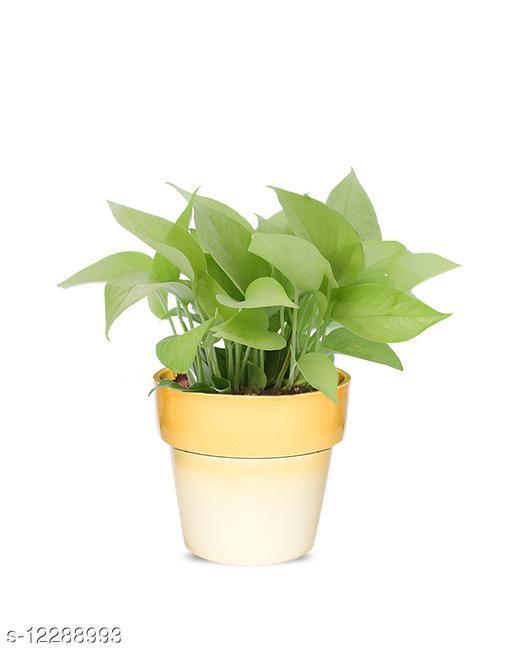 Greenium Foliage Golden Money Plant In Yellow Pastel Elegance Pot