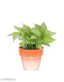 Greenium Foliage Golden Money Plant In Orange Pastel Elegance Pot