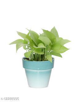 Greenium Foliage Golden Money Plant In Green Pastel Elegance Pot