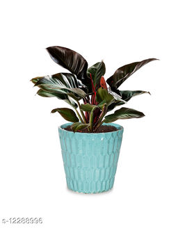 Greenium Foliage Plant Philodendron Imperial Red in Green Edgy Origami Pot