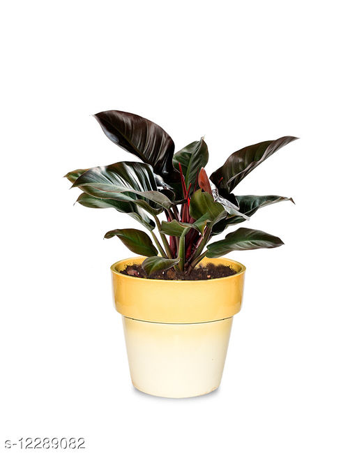 Greenium Foliage Plant Philodendron Imperial Red in Yellow Pastel Elegance Pot