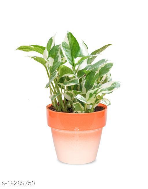 Greenium Foliage Plant White Pothos In Orange Pastel Elegance pot