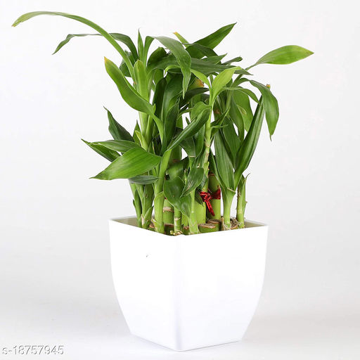 Two Layer Lucky Bamboo In white Pot