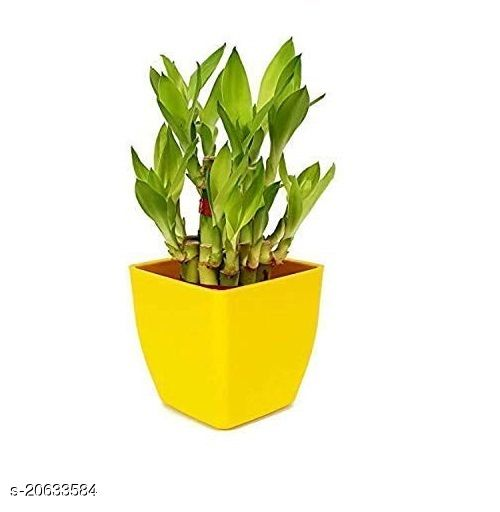 2 Layer Lucky Bamboo Plants with Pot
