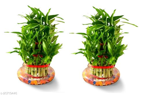 3 Layer Lucky Bamboo Plants  with Pot Set of 2 PCS