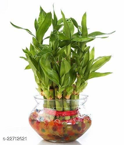 2 Layer Lucky Bamboo Plants for home decoration - Indoor Vastu Bamboo Plant with Pot - Home/Office Decor Gifts
