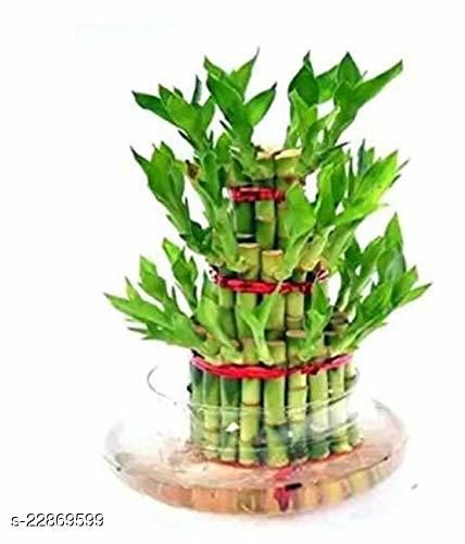 3 Layer Lucky Bamboo Plants for home decoration - Indoor Vastu Bamboo Plant with Pot - Home/Office Decor Gifts
