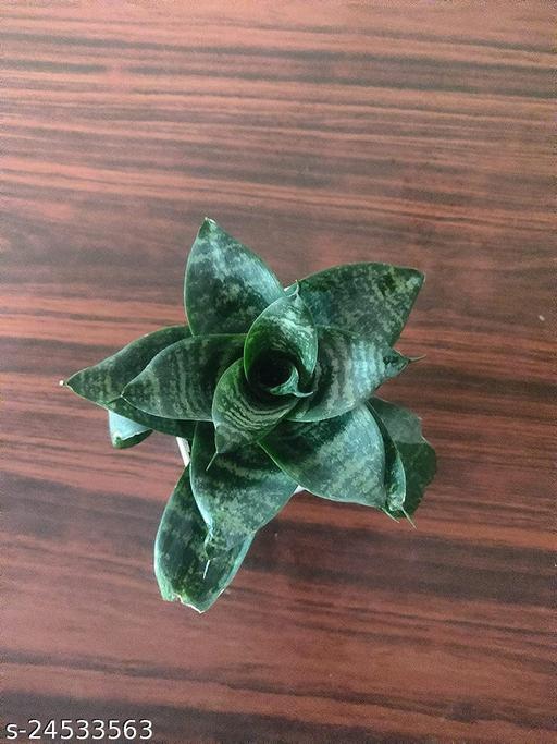 Attractive Mini Sansevieria Plant Pack of 1  Indoor Plants