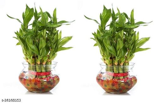 2 Layer Lucky Bamboo Plants 2 piece sets with Glass Pot Combo Pack