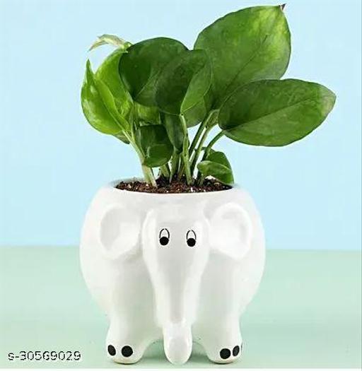 Money Plant in Elephant Pot