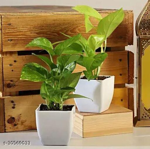 Money Plant with white Pot Comboo