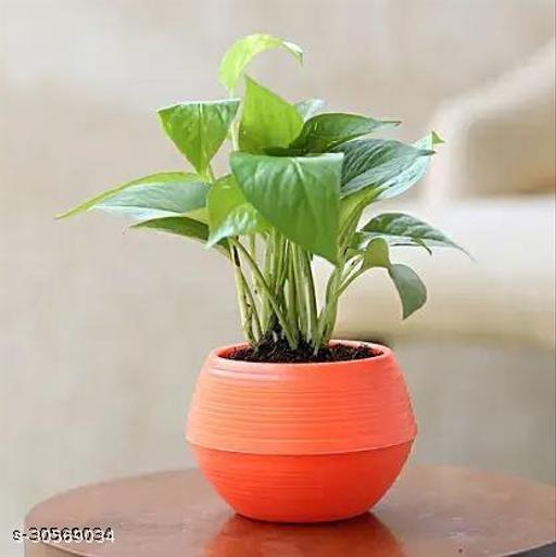 Money Plant in Round Plastic Pot