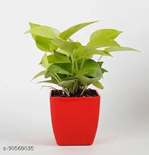 Money Plant with Red Pot