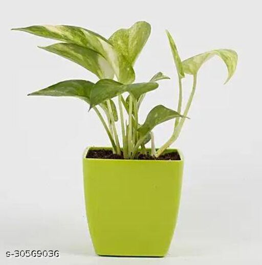 Money Plant with Green Pot