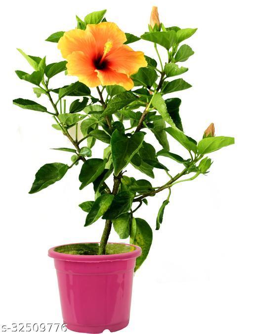 A S enterprize hibiscus Flower Live Plant