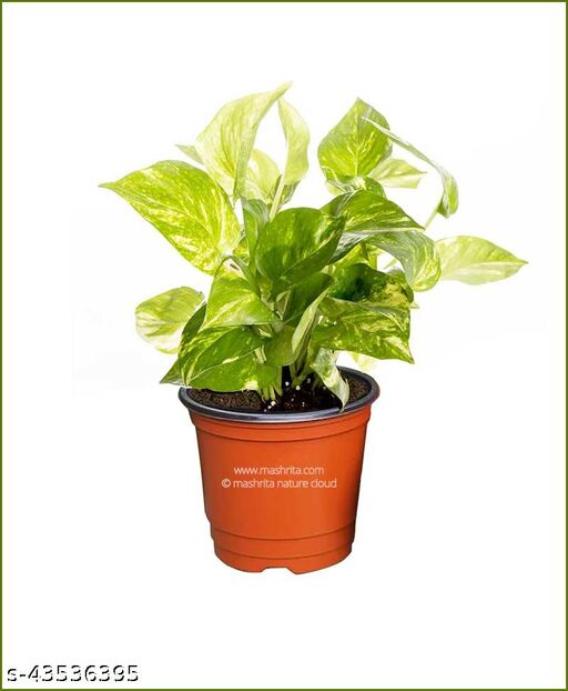 Money Plant Variegated (White) | Pothos | Devil's ivy | NASA's Air Purifier | Healthy and Fresh Plant | Plastic Pot indoor plants