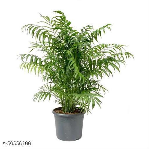GreenShade Live Chamaedorea elegans Palm Indoor Plant