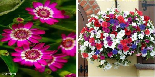 Petunia Mixed (Winter) Flower Seeds & Cineraria Mixed flower seeds(20 seeds per packet 2 packets)