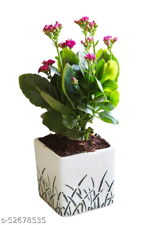 WILDCRAFTOR Air Purifying Kalanchoe in Cube Aroez Ceramic Pot, White plant
