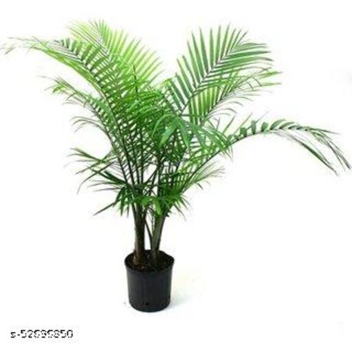 MorningVale Choice Jade plant Live Areca Palm Plant with Pot