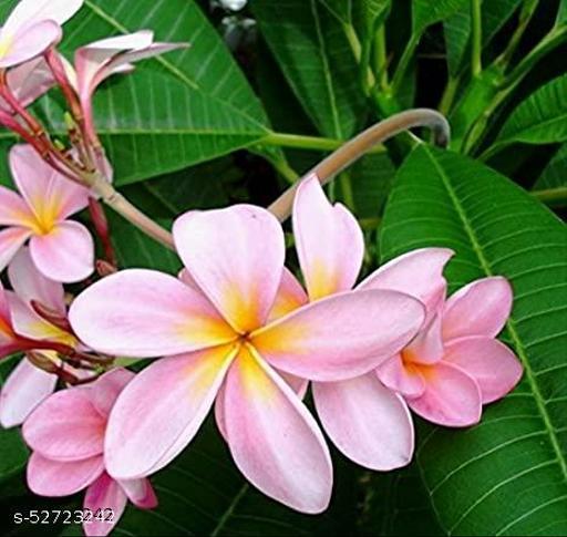 MorningVale Michelia Son champa/Plumeria Live Plant With Pot