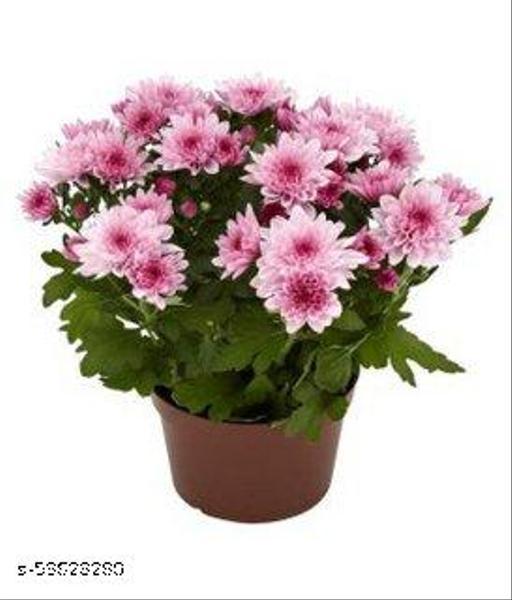 Plants Point Live Guldavari/Chrysanthemum Red Flower Ornamental Plant With Pot