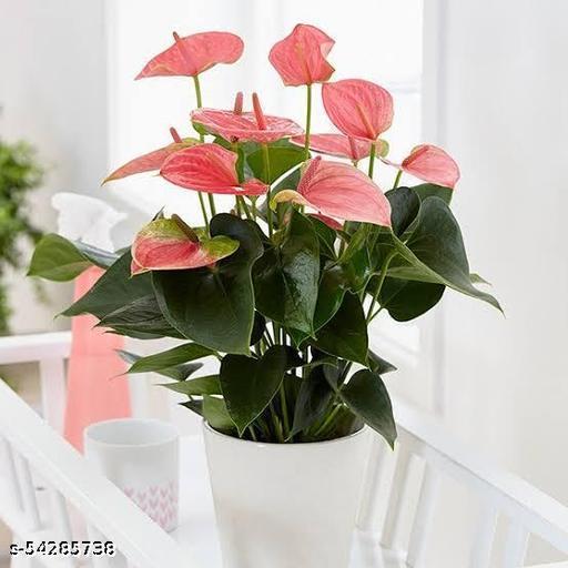 anthurium pink color live plant include ceramic pot