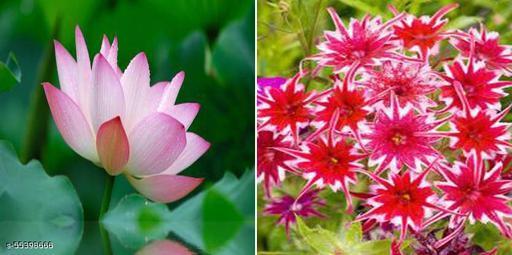 Sacred Lotus, Indian Lotus Seed & Phlox Star (Twinkle Star) Winter flower seeds combo pack of 2 flower seeds (20 seeds per packet)