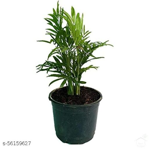 Chamaedorea Bamboo Palm (Pot included)