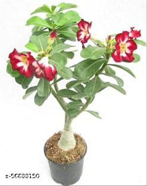 Chamunda Greens 1 Natural Adenium Neo Doxon Double Flower Live plant with pot